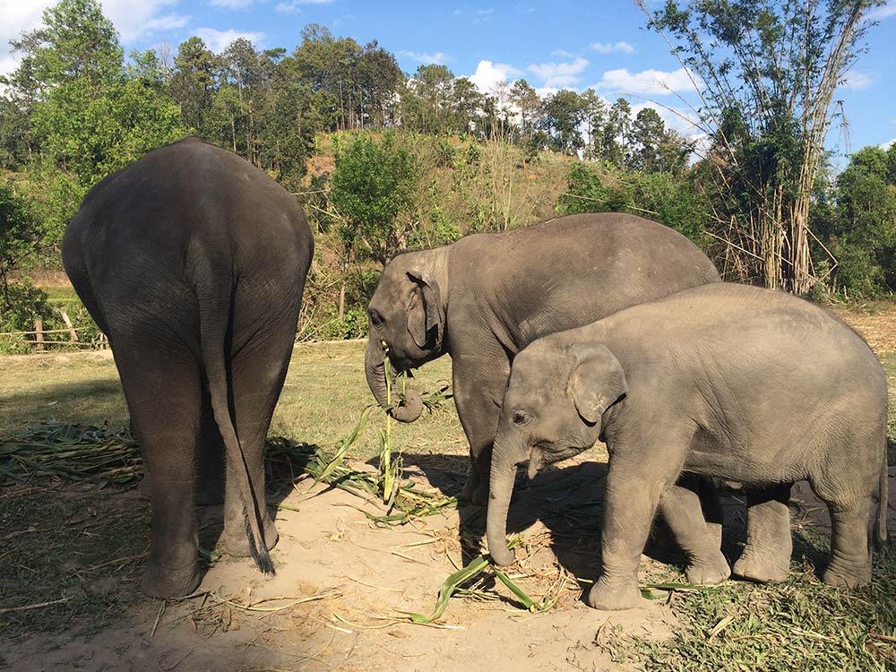 Descubra nesse post porque você não deve montar nos elefantes na Tailândia e como vistar esses animais de maneira responsável!