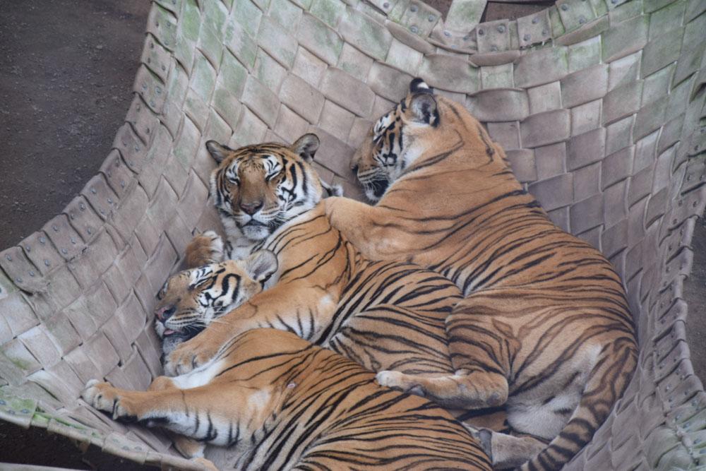 Tigres no zoológico do Beto Carrero. Conheça outras atrações do parque nesse post!
